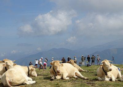Vacas y al fondo, observadores