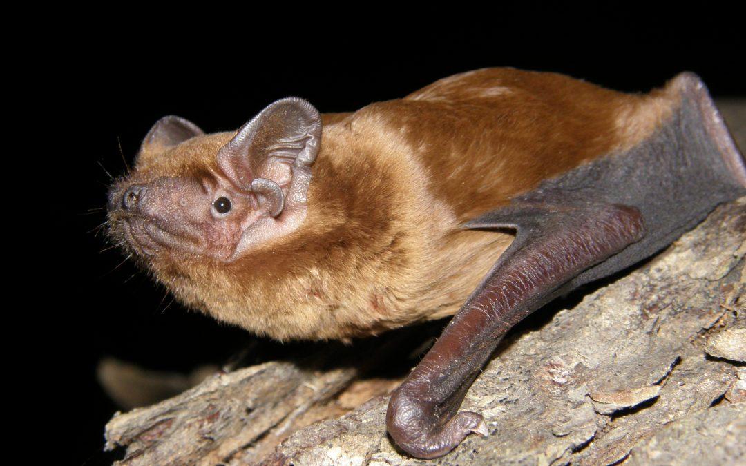 Detectados importantes desplazamientos de murciélagos en los collados baztaneses